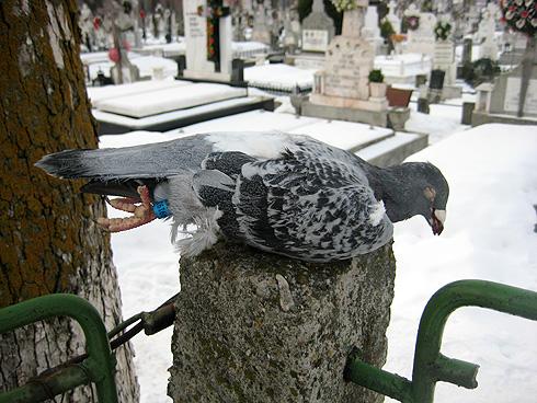 porumbel-cimitir