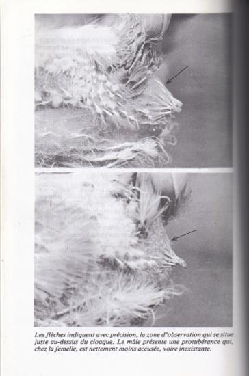 masculi-femele-identificare-porumbei