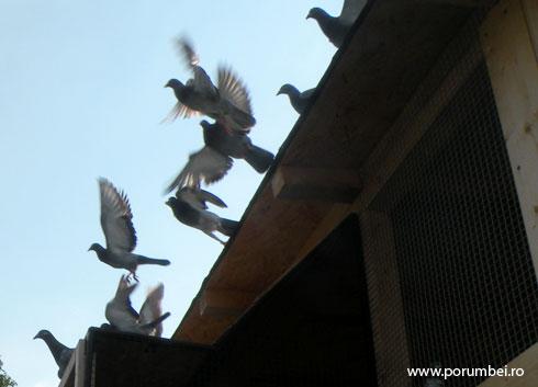 libertate-porumbei