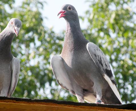 gafaitul-la-porumbei