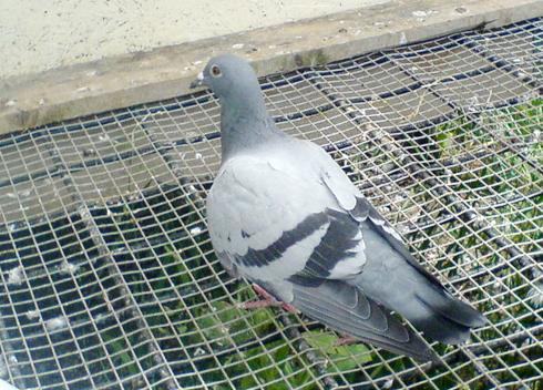 porumbel-aripa-ranita