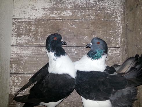 strasser-porumbei