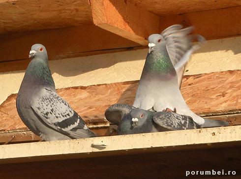 imperechere-porumbei