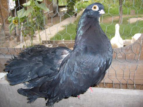 negru-turc