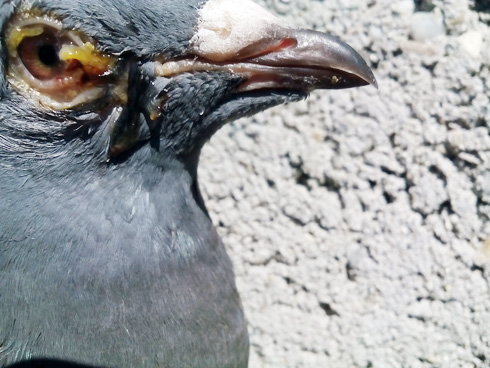 boala-ochi-porumbei2