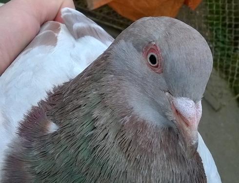 ornitoza-porumbei-ochi-sanatos