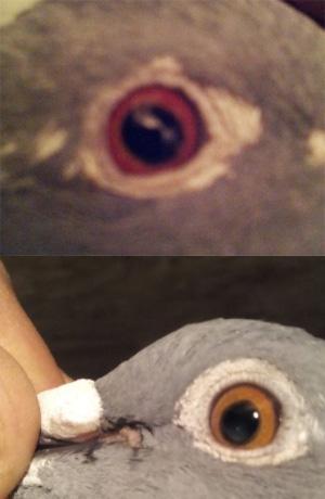 ochi-decolorat-orbire-porumbel