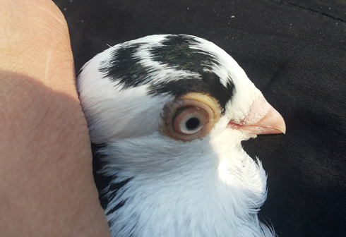 pupila-nedeformata