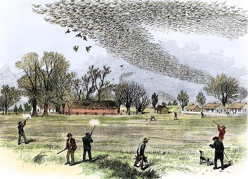 porumbei-impuscati-de-vanatori