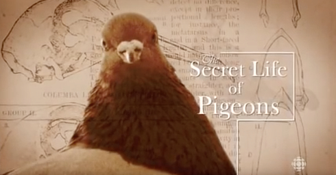 secret-life-of-pigeons