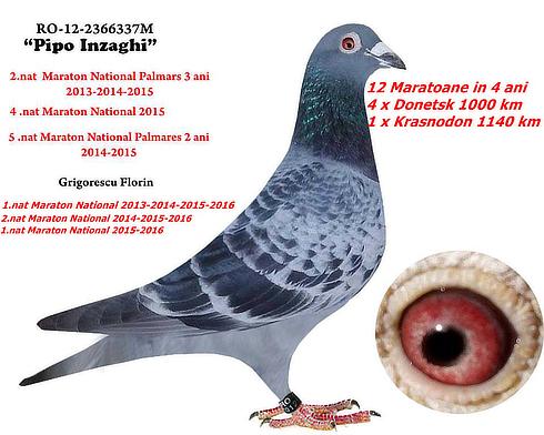 pipoinzaghi-porumbel-prel