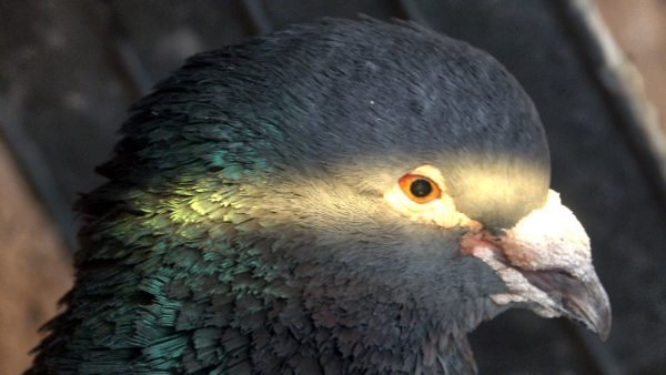 Cei mai batrani porumbei din Romania