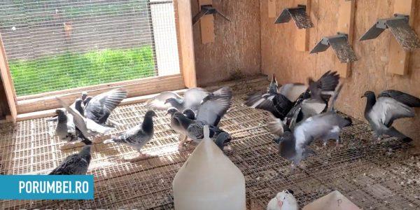pui porumbel se hranesc intre ei