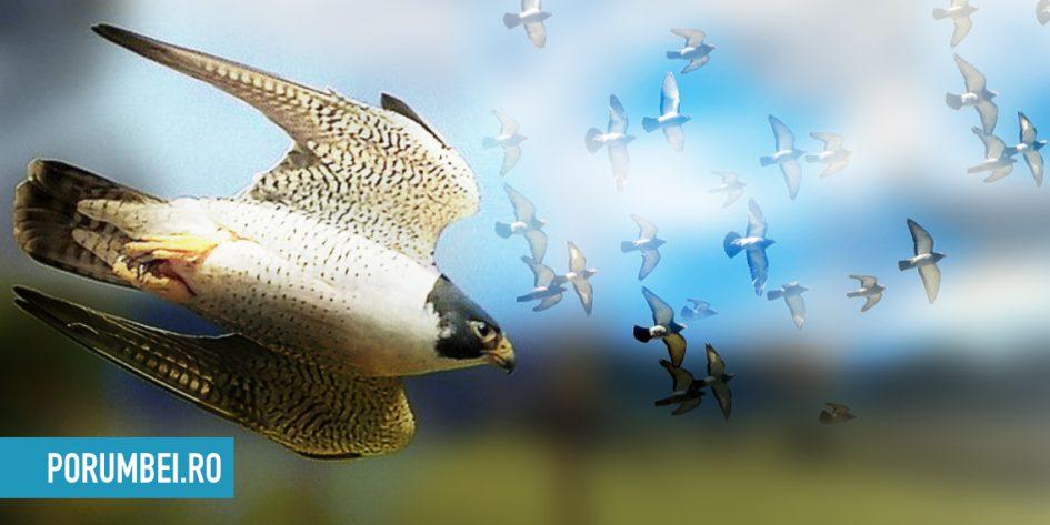 Soim calator atacand porumbei voiajori