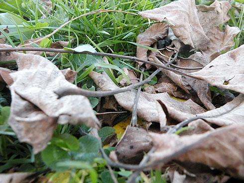 frunze uscate de nuc