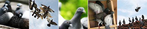 educatia si comportamentul porumbeilor